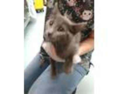 Adopt Lady Gaga a Domestic Longhair / Mixed (long coat) cat in Portsmouth