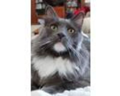 Adopt Jake a Gray or Blue (Mostly) Russian Blue / Mixed (long coat) cat in