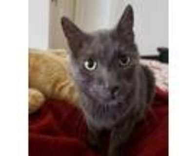 Adopt Jed Cooper a Gray or Blue Russian Blue / Domestic Shorthair / Mixed cat in