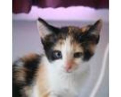 Adopt Stacy Steel a Domestic Short Hair