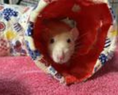 Adopt CHICKPEA a Buff Rat / Mixed small animal in Boston, MA (31623438)