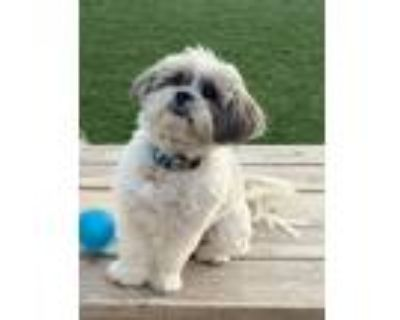 Adopt Jojo a White - with Gray or Silver Shih Tzu / Mixed dog in Indio