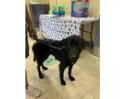 Adopt MAVERICK a Black - with White Labrador Retriever / Mixed dog in Norfolk