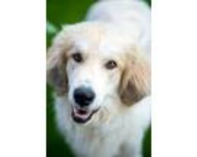 Adopt Doodle a White Great Pyrenees / Golden Retriever / Mixed dog in Dallas