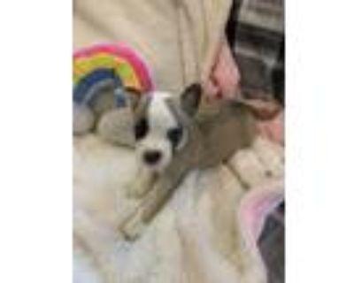 Adopt Eli a American Staffordshire Terrier, Labrador Retriever