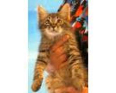 Adopt 655060 a All Black Domestic Mediumhair / Domestic Shorthair / Mixed cat in