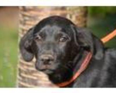 Adopt Baron a Black Labrador Retriever / Mixed dog in Chester Springs