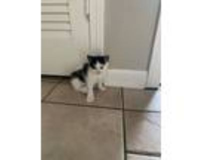 Adopt kitten2 a White (Mostly) Bengal / Mixed (medium coat) cat in Jacksonville