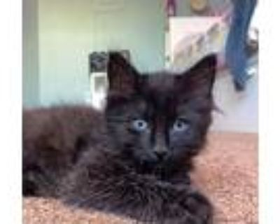 Willy, Domestic Longhair For Adoption In Boulder, Colorado