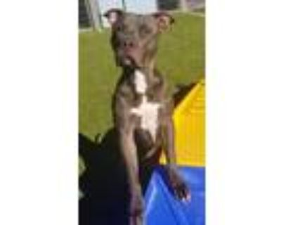 Adopt DAX a Gray/Silver/Salt & Pepper - with White Staffordshire Bull Terrier /