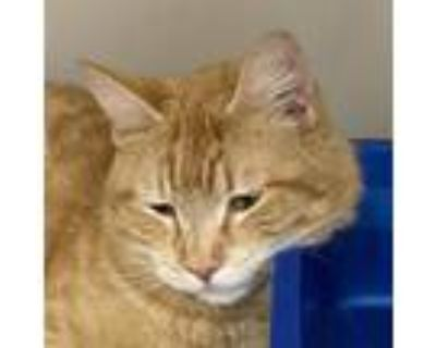 Adopt Figg a Orange or Red Domestic Shorthair / Mixed cat in Cumming