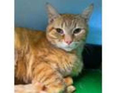 Adopt Sneezy a Domestic Short Hair