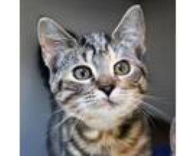 Adopt Ossie a Domestic Short Hair