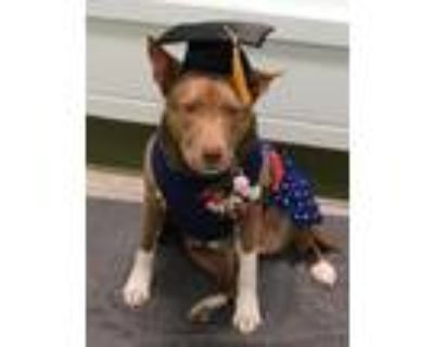 Adopt COURTESY POST - POLLY a American Staffordshire Terrier