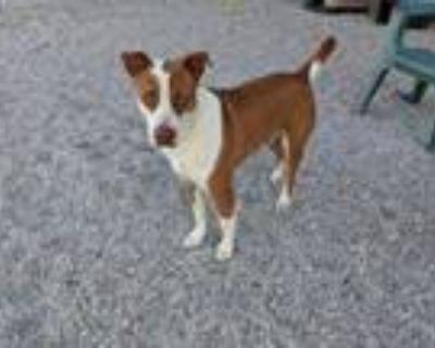 Adopt Tyson $350 a Basenji, Fox Terrier