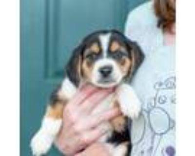Adopt Chantilly a Beagle, Cattle Dog