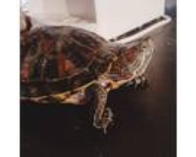 Adopt Blitzy a Red-Eared Slider