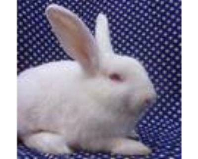 Adopt WHITTAKER a Fawn Dwarf Hotot / Mixed rabbit in Goleta, CA (30021808)