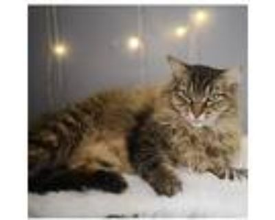 Camellia, Maine Coon For Adoption In Los Angeles, California