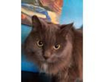 Adopt Winter a Gray or Blue Domestic Longhair / Mixed (long coat) cat in Walnut