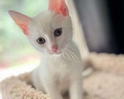 Bruce Willis - Domestic Shorthair - Kitten Male