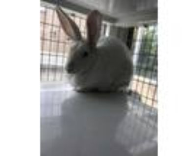 Adopt HOPPES a White Other/Unknown / Mixed rabbit in Albuquerque, NM (31158426)