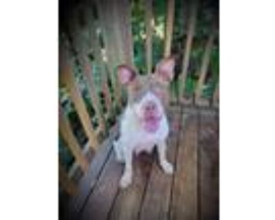 Adopt Clementine a American Staffordshire Terrier