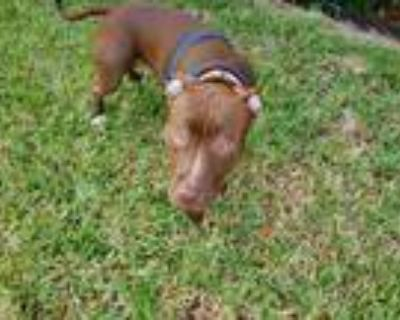 Adopt Magnus a Brown/Chocolate - with White American Pit Bull Terrier / Mixed