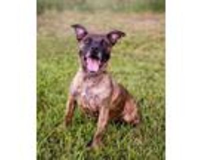 Adopt Reba a Brindle Pit Bull Terrier / Hound (Unknown Type) / Mixed dog in