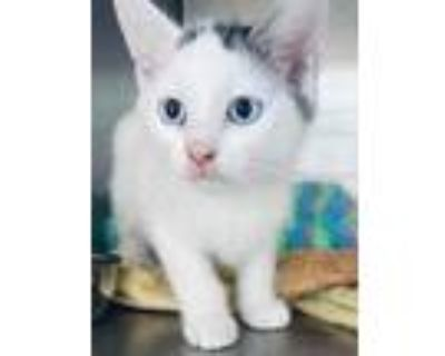 Adopt Glacier a White Domestic Shorthair / Domestic Shorthair / Mixed cat in