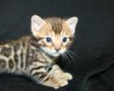 Leopard Rosetted Male Bengal Kittens