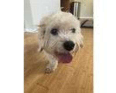 Adopt Sprout a Poodle