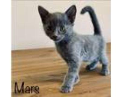 Adopt Mars a Russian Blue / Mixed (short coat) cat in San Jacinto, CA (31949073)