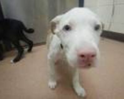 Adopt Marla a White Pointer / Mixed dog in Boulder, CO (32051726)