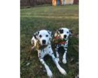 Adopt Maggie and Scout a White - with Black Dalmatian / Dalmatian / Mixed dog in