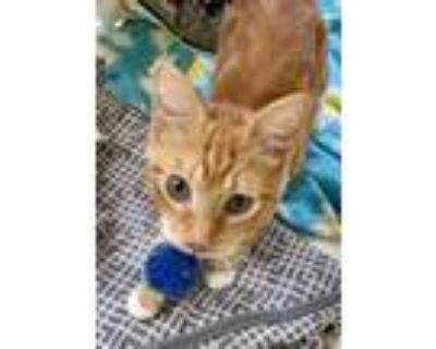 Adopt Max a Orange or Red Tabby Domestic Shorthair (short coat) cat in Fairfax