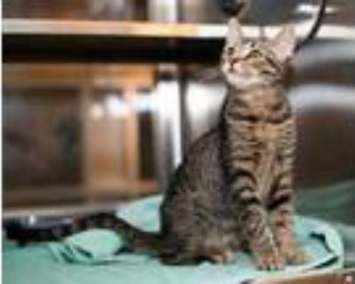Adopt Pineapple a Gray or Blue Domestic Shorthair / Domestic Shorthair / Mixed