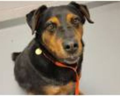 Adopt GUNNER a Rottweiler, Mixed Breed