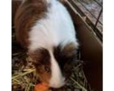 Adopt Allister a Brown or Chocolate Guinea Pig small animal in Shawnee