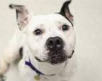 Adopt DONALD a White Staffordshire Bull Terrier / Mixed dog in Denver