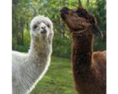 Larry, Curly, And Moe, Alpaca For Adoption In Sultan, Washington