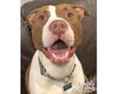 Kiko, Pit Bull Terrier For Adoption In Washington, District Of Columbia