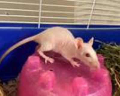 Adopt MARVALO a White Rat / Mixed small animal in Fort Wayne, IN (32084419)
