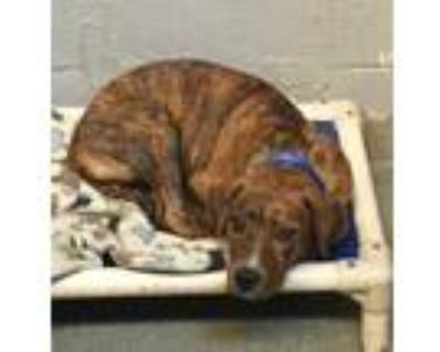 Adopt 48205269 a Brindle American Pit Bull Terrier / Mixed dog in Los Lunas
