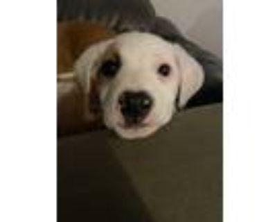 Adopt Artis Silvester a Tan/Yellow/Fawn - with White Labrador Retriever dog in