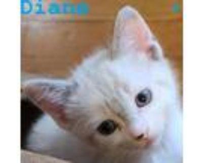 Adopt Diane a Domestic Short Hair, Siamese