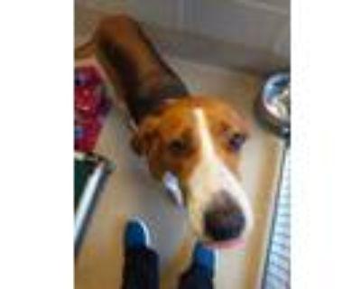 Adopt Buckeye a Brown/Chocolate Hound (Unknown Type) / Mixed dog in Newport