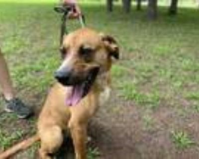 Adopt Buddy a Brown/Chocolate Redbone Coonhound / Boxer / Mixed dog in