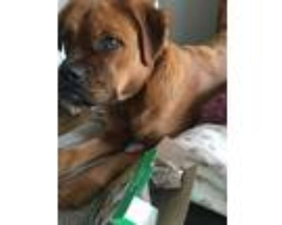 Adopt Josie a Brown/Chocolate - with White Boxer / Cocker Spaniel / Mixed dog in