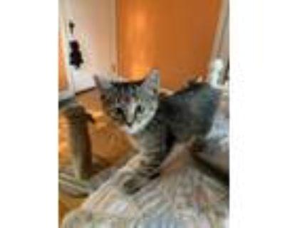 Adopt November a All Black Domestic Shorthair / Domestic Shorthair / Mixed cat